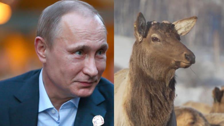 """شاهد.. قوى """"سحرية"""" بدم قرون الأيل.. اعتقاد يؤمن به بوتين؟"""
