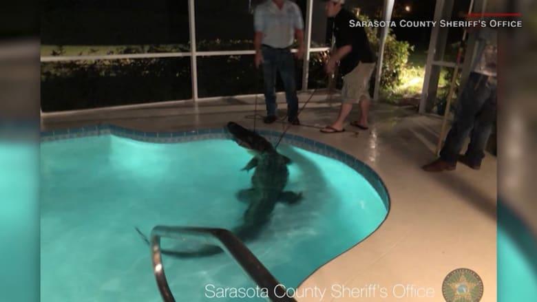 شاهد.. تمساح يسبح في منزل.. وشرطة تنقذ متهماً كانت تلاحقه!