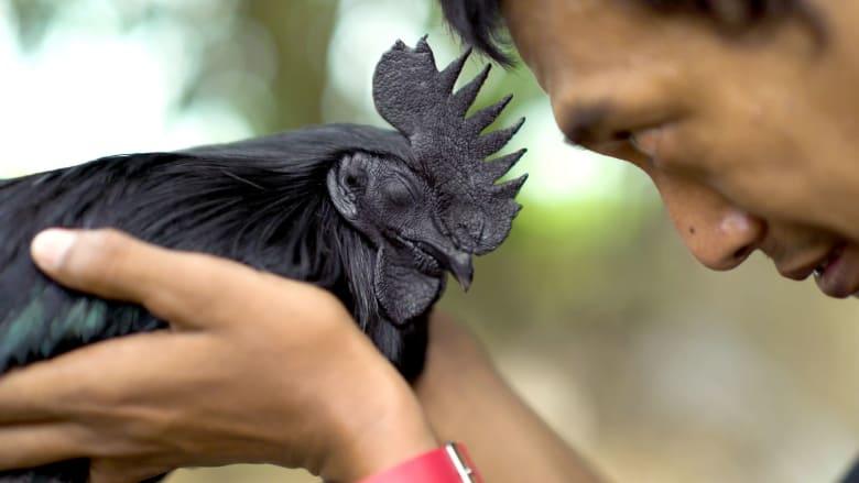 هل يرتبط هذا النوع من الدجاج الأسود بعبدة الشياطين؟