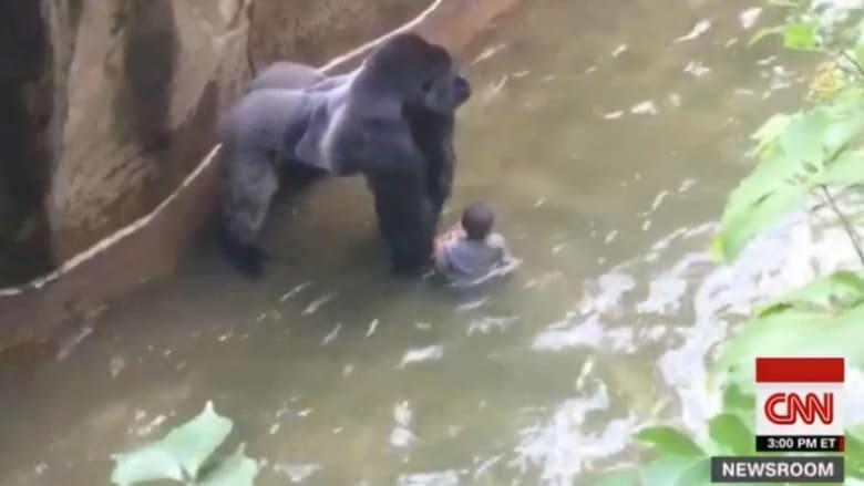 شاهد ماذا حدث لطفل انزلق في حديقة حيوان والتقطه غوريلا