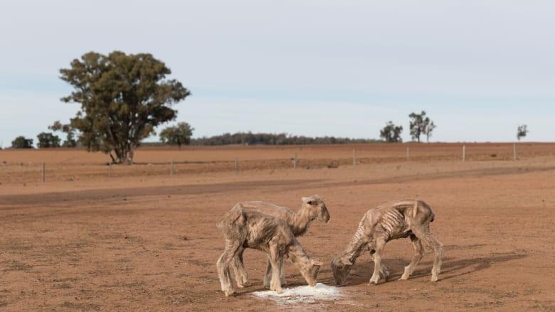 مزارع الحيوانات تعاني من الجفاف التام في أستراليا