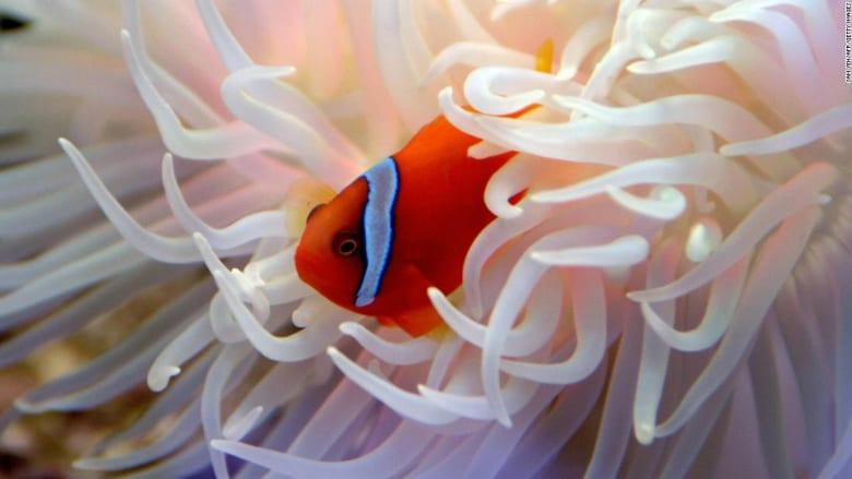 """كيف تسبب فيلم """"أنيمي"""" في جعل هذه الأسماك عرضة لخطر الانقراض؟"""