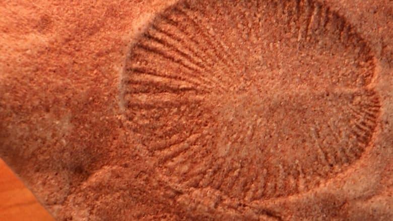 اكتشفوا العلماء أقدم الحيوانات المعروفة للانسان