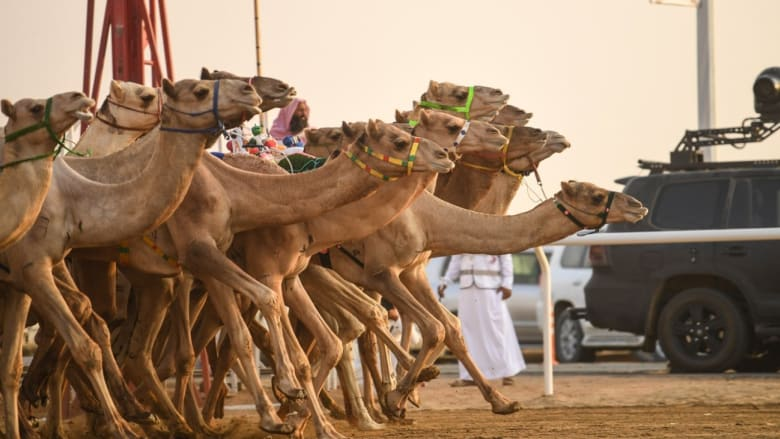 غينيس تعلن مهرجان ولي العهد للهجن في السعودية الأكبر بالعالم