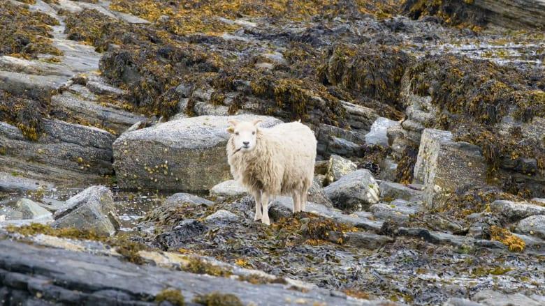 هذه الخراف الاسكتلندية تتغذى على الأعشاب البحرية