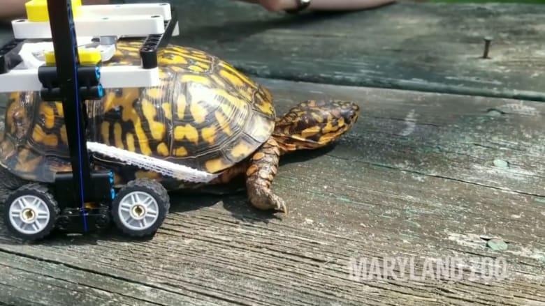 """السير على """"عجلات الليغو"""".. أحدث علاج لسلحفاة مصابة"""