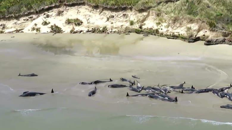 """نيوزيلندا تلجأ """"للقتل الرحيم"""" بعد جنوح عشرات الحيتان"""