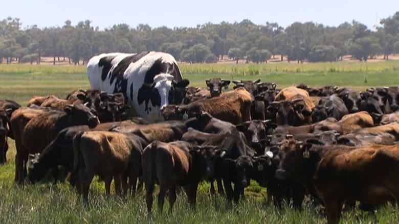 لن تصدق هذا! ثور طوله يقترب من مترين في استراليا
