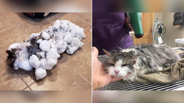 قطة تنجو من الموت بشكل مذهل بعد تجمدها في الثلوج