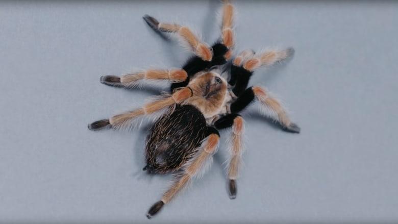"""عنكبوت """"الرتيلاء"""" المكسيكي.. هكذا يهاجم الضحايا"""