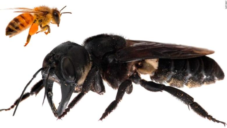 أكبر نحلة في العالم بإندونيسيا.. فكيف تبدو؟