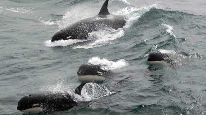 شاهد.. لقطات جديدة لنوع نادر من الحيتان القاتلة