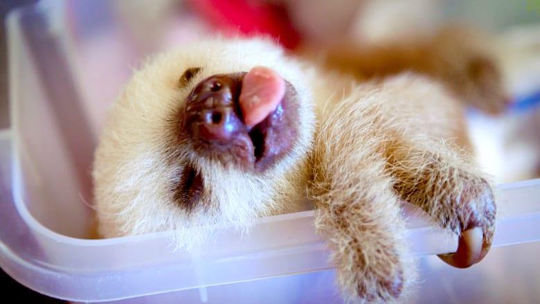 نظرة داخل حياة حيوانات الكسلان.. التي تعيش أفضل حياة