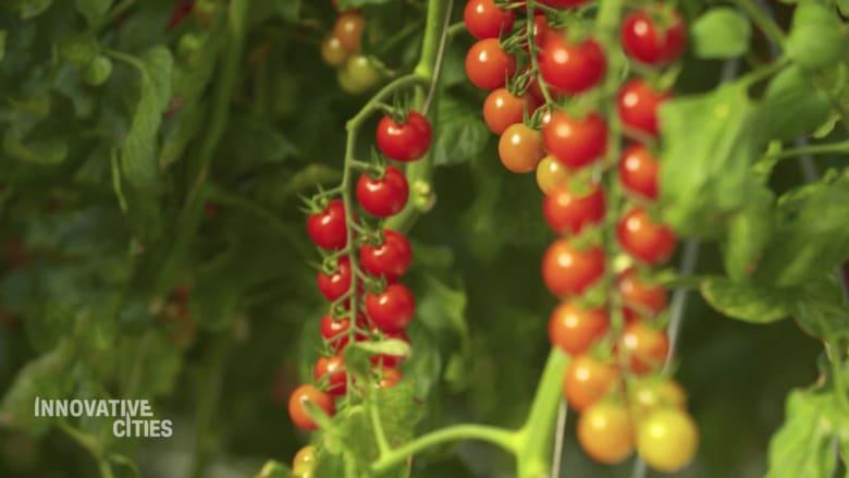 شاهد.. كيف تزرع الطماطم وسط الصحراء في الإمارات؟
