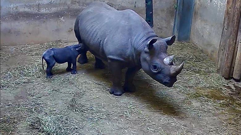 وحيد قرن أسود مهددة بالانقراض يقف بعمر 53 دقيقة