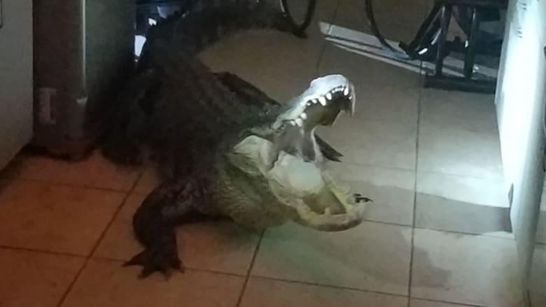مفاجأة صادمة.. تمساح ضخم يقتحم مطبخ سيدة بعمر 77 عاماً