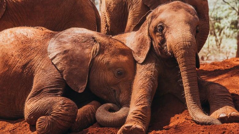 """الميتم الكيني هذا ينقذ الفيلة """"اليتيمة"""" ويعطيها حياة جديدة"""