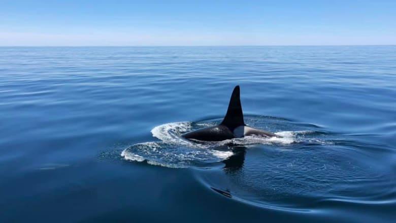 في مشهد نادر.. حوت قاتل يسبح مع الدلافين