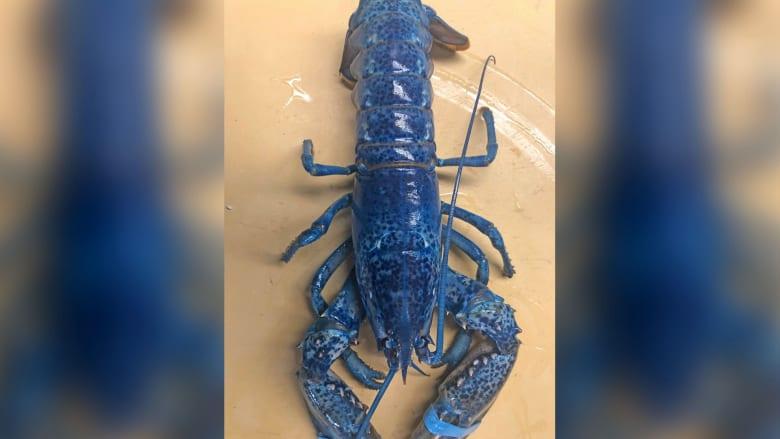 كركند أزرق نادر يصل إلى مطعم بالصدفة