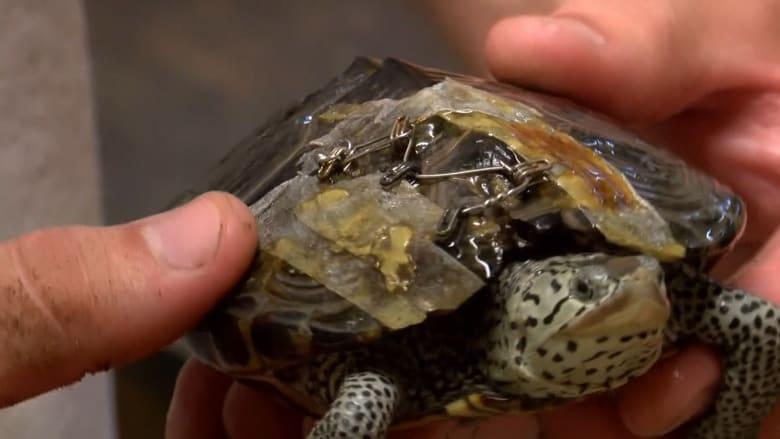 نساء يتبرعن بحمالات الصدر لإنقاذ حياة السلاحف