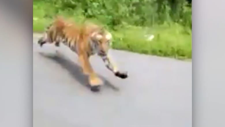 190703121856-india-tiger-chases-motorcycle-2.jpg