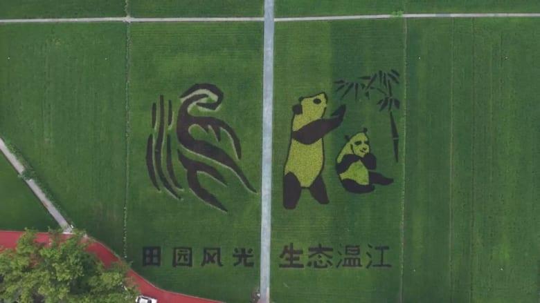 حقل أرز يتحول لقطعة قماش وصور باندا في الصين