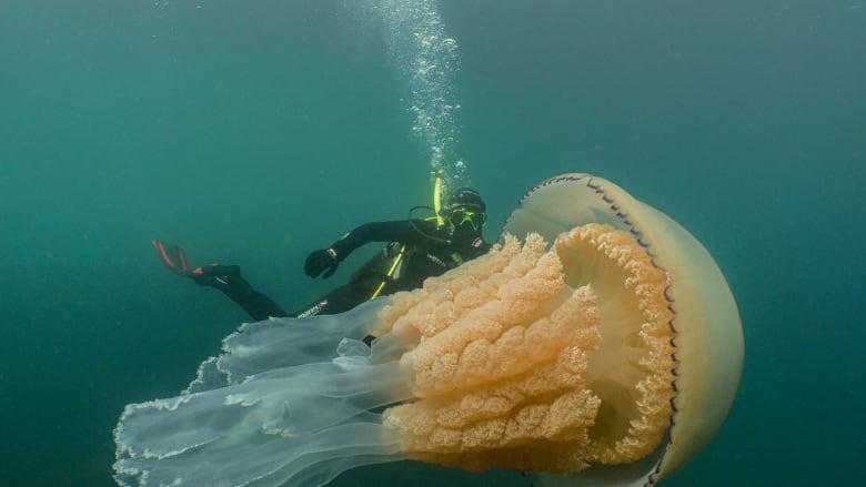 في حادثة نادرة.. مشاهدة قنديل بحر بحجم إنسان في وسط المحيط