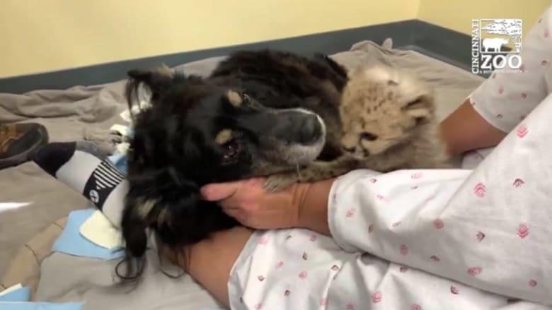 كلب يعتني بشبل فهد وحيد في حديقة حيوانات سينسيناتي