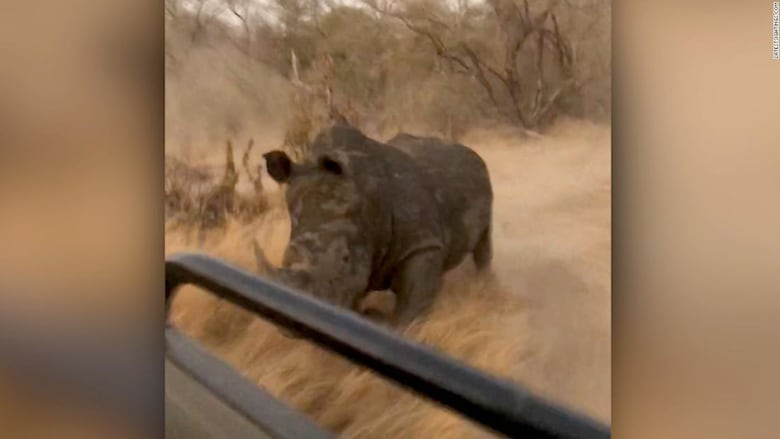 وحيد قرن يطارد مجموعة سياح في محمية طبيعية بجنوب إفريقيا