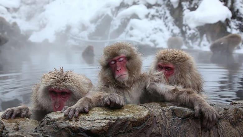 قرود في اليابان أثناء استجمامها في ينابيع حارة