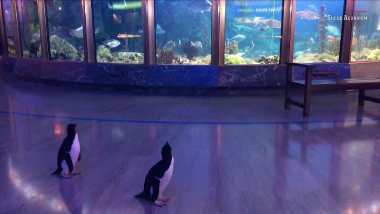 بطاريق تستكشف حوض الأسماك في غياب الزوار بسبب فيروس كورونا