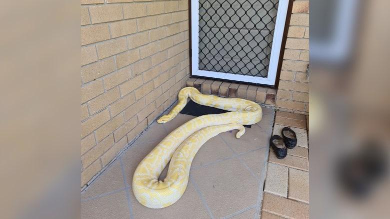 200324112656-01-australia-burmese-python-porch-scli-intl.jpg