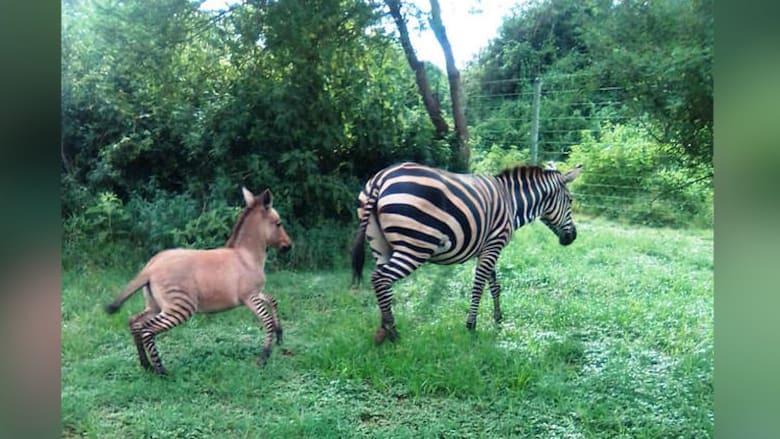 """من تزاوج نادر.. ولادة """"زونكي"""" في كينيا"""