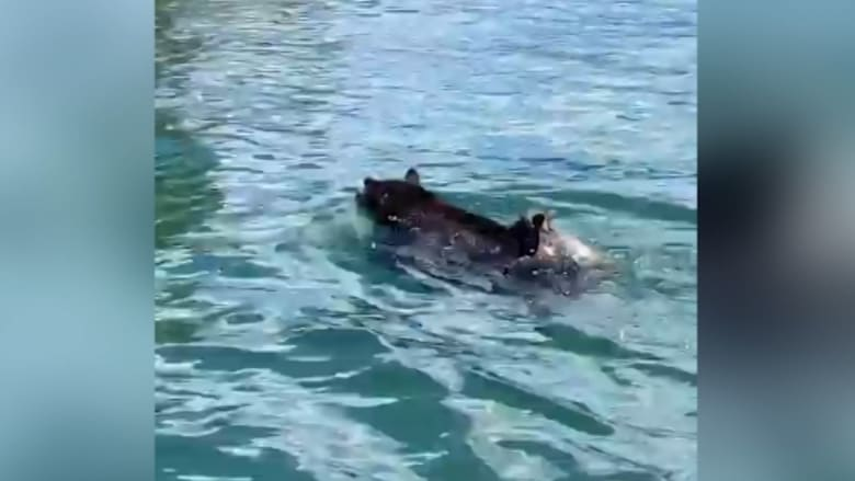 شاهد أنثى دب تنفذ عملية إنقاذ لأشبالها من الماء