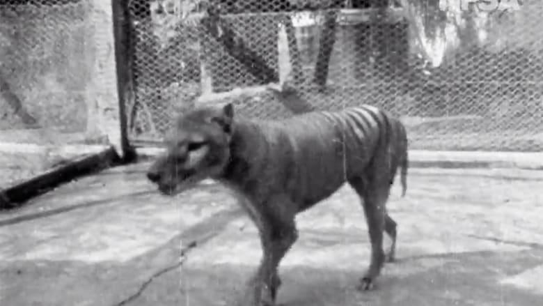 200519090530-01-thylacine-tasmanian-tiger-grab.jpg