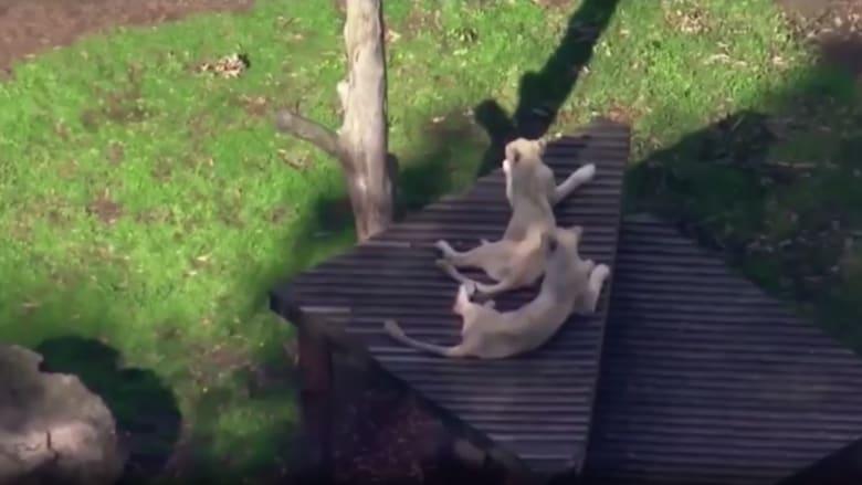 أسود تهاجم بشراسة حارسة في حديقة حيوان بأستراليا