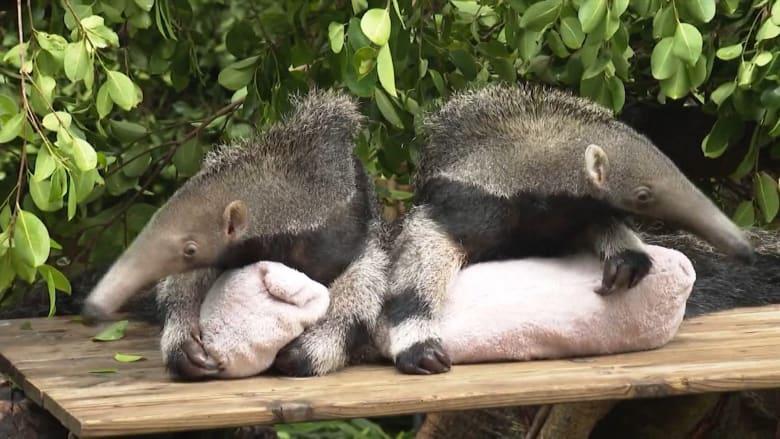 أول ظهور لتوأم آكل النمل العملاق في حديقة حيوان بالصين