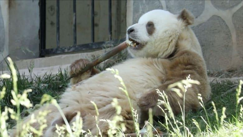 شاهد الباندا البني النادر يستمتع في منزله الجديد
