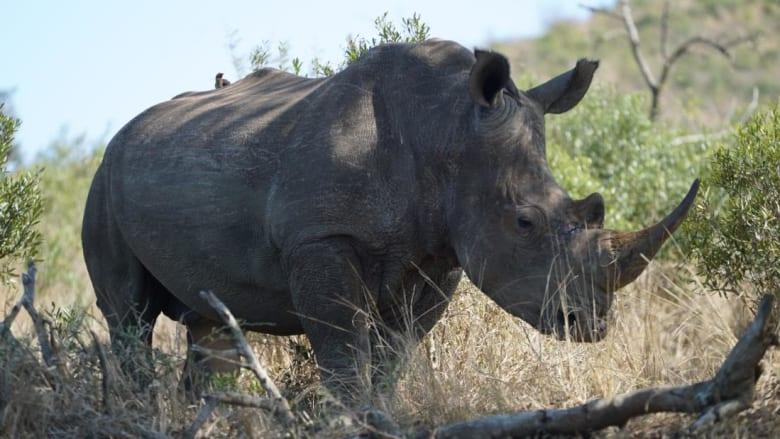 وحيد القرن الأبيض يتزايد بنسبة 34000٪ في هذه الحديقة.. ما السبب؟