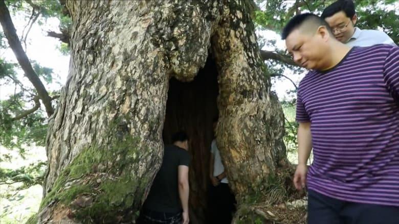 رغم جذعها المجوف.. اكتشاف شجرة صنوبر عمرها 1900 عام في الصين