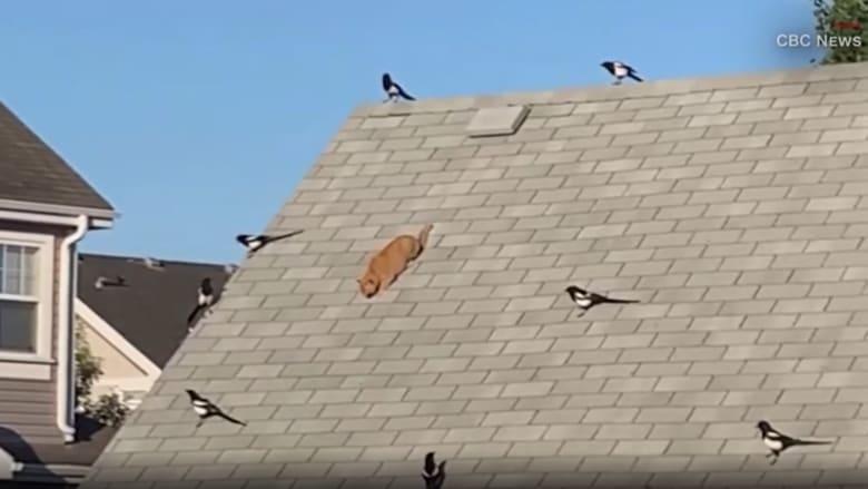 شاهد ما حدث لقطة حاصرتها طيور عدوانية على سطح منزل