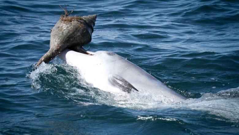 شاهد.. حيلة الدلافين لصيد الأسماك باستخدام صدف المحار