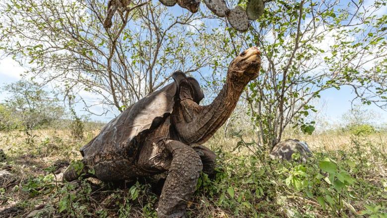 شاهد كيف عادت هذه السلاحف إلى موطنها في جزيرة إسبانيولا