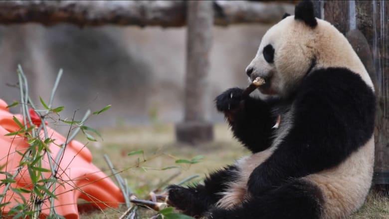 لقطات مرحة لباندا عملاقة في شنغهاي تحتفل بعيد ميلادها بوليمة من الخيزران