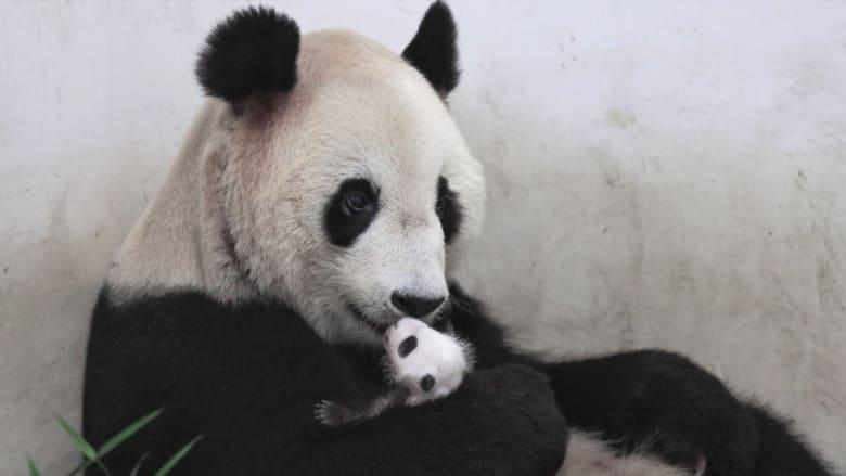 كيف يمكن معرفة أن أنثى الباندا العملاقة حامل؟