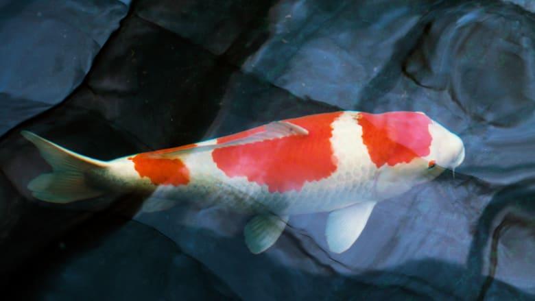 ياباني يربي أسماكا تُباع بملايين الدولارات.. اكتشف حياتها المدللة في مزرعته