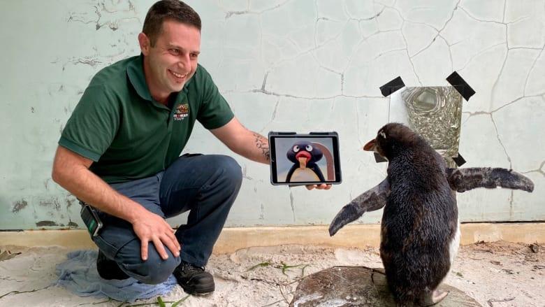 البطريق بيير يعشق مشاهدة أفلام الكارتون وعروض طيور البطريق الأخرى