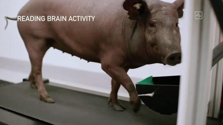 إيلون موسك يستعرض كيف ستعمل شريحته القابلة للزرع في الدماغ.. على خنزير