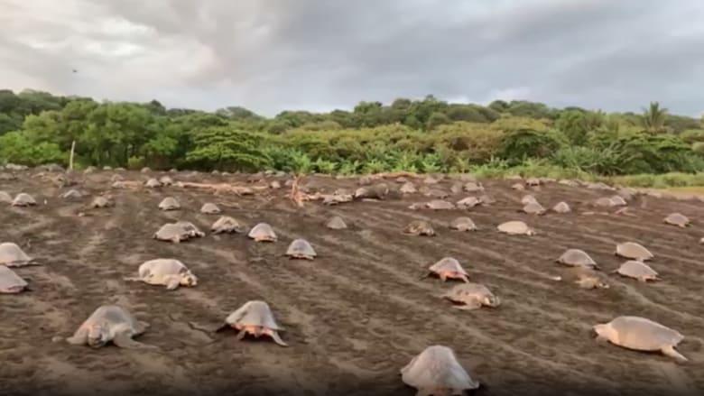 شاهد.. كاميرا ترصد غزو آلاف السلاحف البحرية أحد شواطئ كوستاريكا