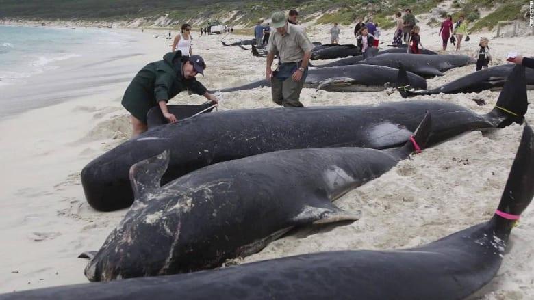 200924122703-australia-tasmania-stranded-pilot-whales-watson-died-pkg-intl-hnk-vpx-00000911-super-169.jpg